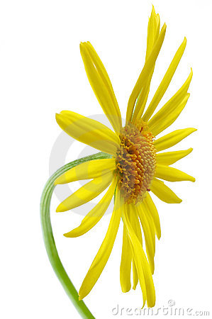 Free Daisy Flower Royalty Free Stock Photography - 2305747