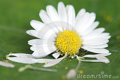 Daisy flower on green leaf