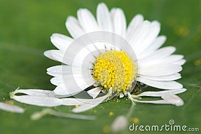 Daisy flower on green leaf