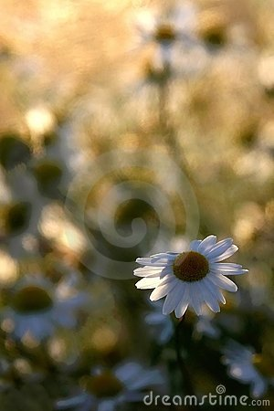 daisy flower on a meadow in sunset light