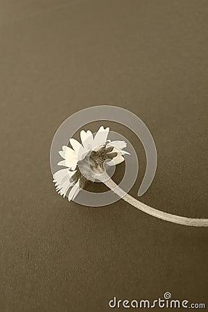 Daisy flower, sepia