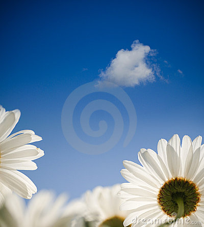 Daisy flower in spring