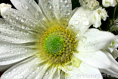 Daisy Flower With Water Drops Close Up