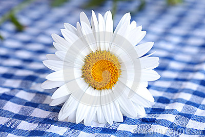 Daisy flower with white petals on checkered tablec