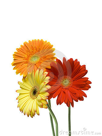 daisy flowers royalty free stock photography  image, Beautiful flower