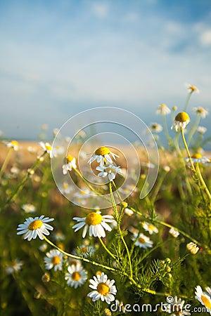 Daisy Flowers Against Blue Sky