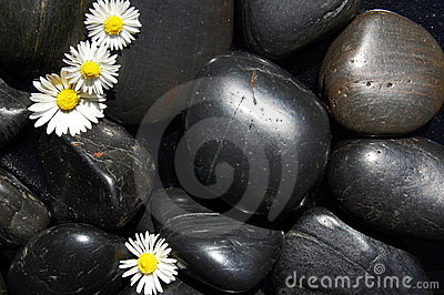 Daisy flowers on black stones