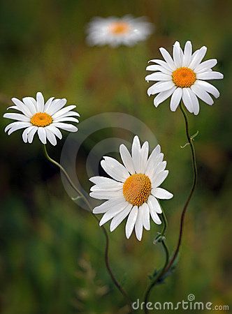 Daisy flowers in bloom