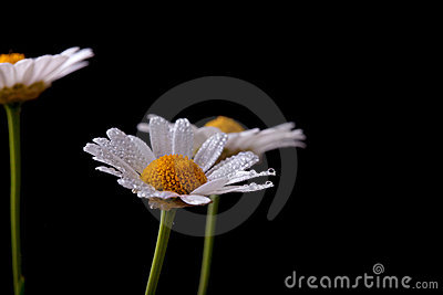 Daisy Flowers with Dewdrops