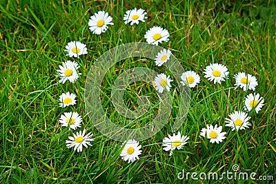 Daisy flowers formed heart shape