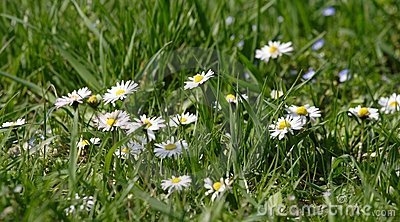 Daisy flowers in green grass
