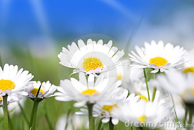 Daisy flowers group