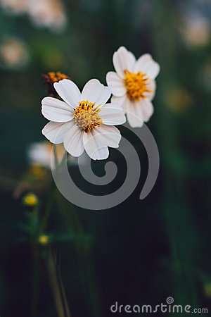 Free Daisy Flowers In The Garden. Stock Photo - 114872590