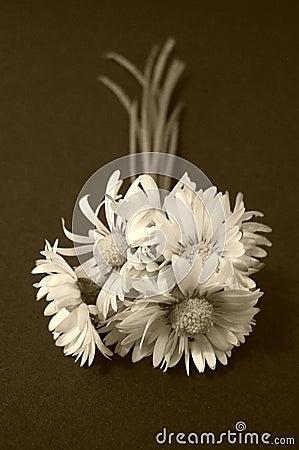 Daisy flowers, sepia