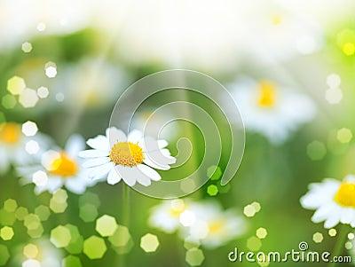 Daisy flowers and sun beam