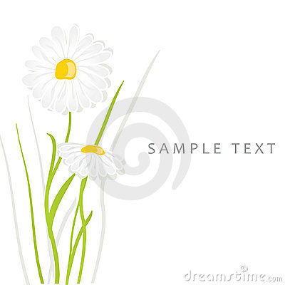 Daisy flowers. Vector card