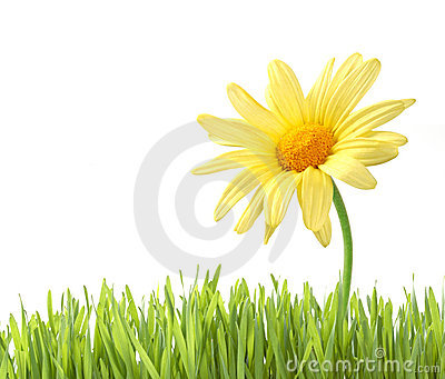 Daisy with grass isolated