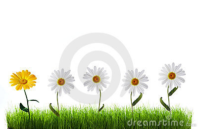 Daisy in green grass