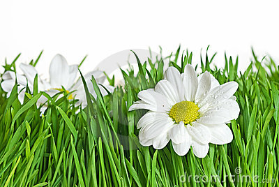 Daisy in green grass