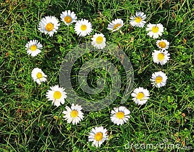 Daisy heart