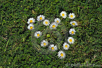 Daisy heart shape