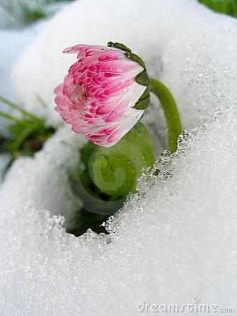 Free Daisy In The Snow Royalty Free Stock Image - 13300636