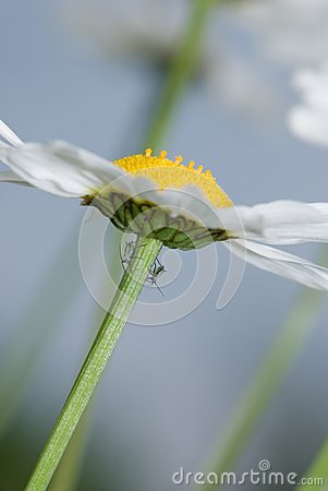 Daisy and insects