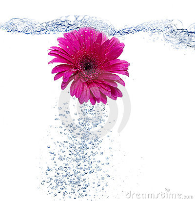 Free Daisy Into The Water Royalty Free Stock Photos - 10153758