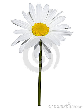 Free Daisy Isolated On White Background Stock Photography - 53144652