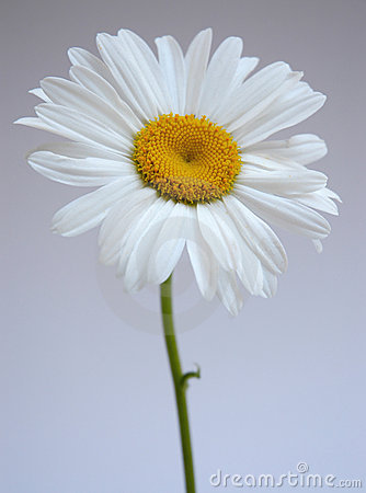 Daisy IV