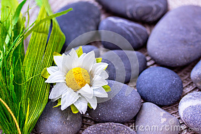 Daisy and leaves among spa stones