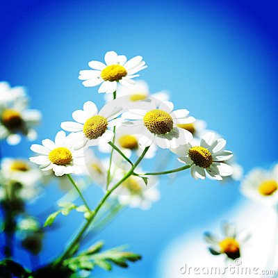 Daisy like flowers with a blue background