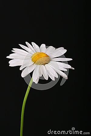 Free Daisy On Black Stock Photography - 2631072