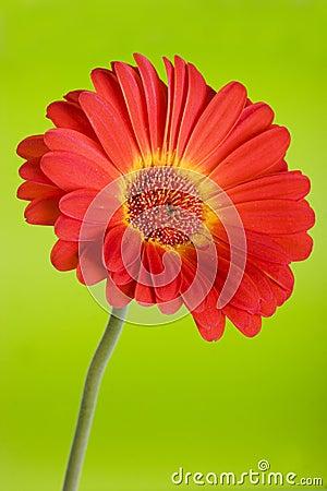 Free Daisy On Green Royalty Free Stock Image - 1032056