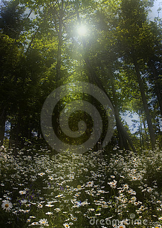 Daisy patch in the forest