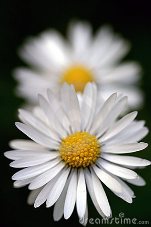 Free Daisy Perspective Stock Image - 115631