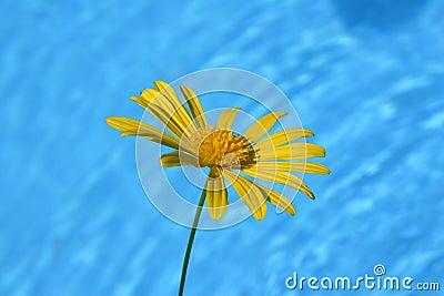 Daisy By Pool
