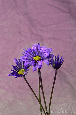 Daisy purpurowe