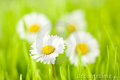 Daisy spring