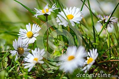 Daisy spring flowers