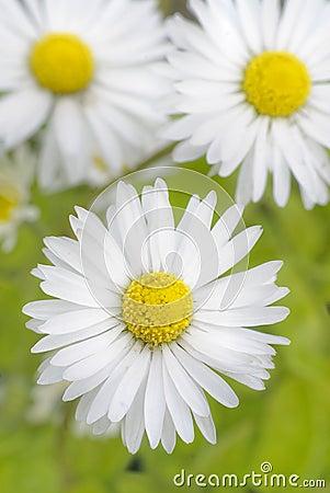 Daisy - Stokrotka
