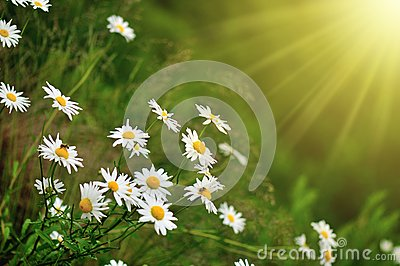 Daisy and sunray