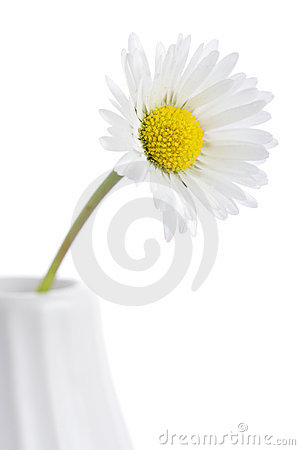 Daisy in a vase