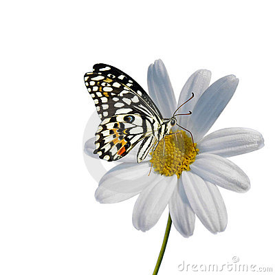 Free Daisy With Butterfly Stock Photos - 13558863