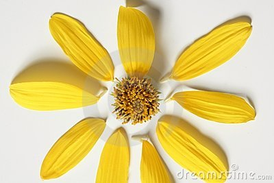 Daisy yellow flower, macro studio shot