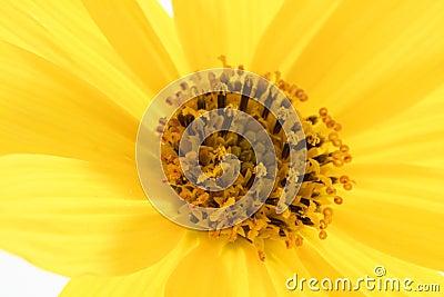 Daisy yellow flower, macro studio shot