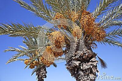 Daktylowe palmy