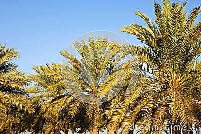 Daktylowi palmes