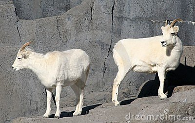 Dall s Sheep