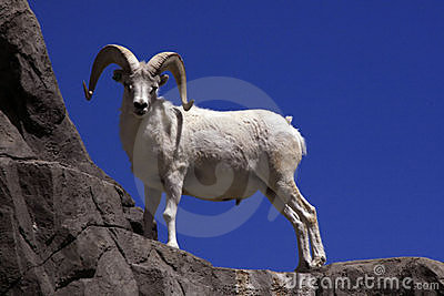 Dall Sheep on Cliff